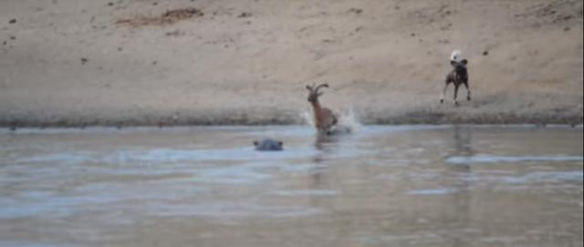 Poor Impala Stuck Between Wild  Dogs, Hippo and Crocodiles