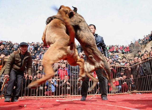 Dog fighting to the death in China_国际_蛋蛋赞