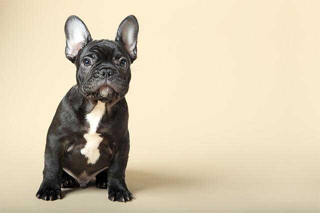 Most popular dog breeds in 2017