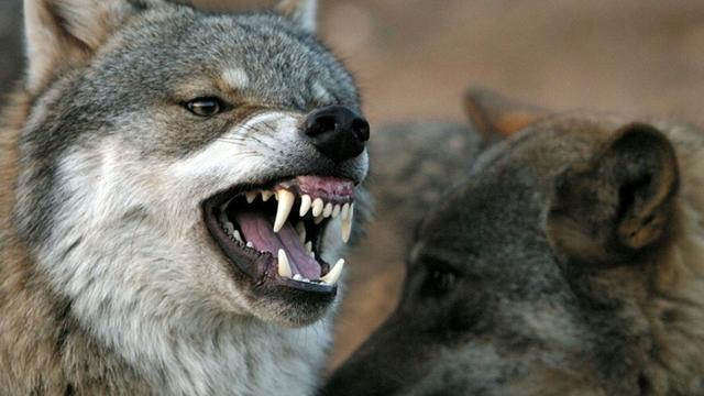 British hiker attacked, devoured by wolves in Greece, coroner says