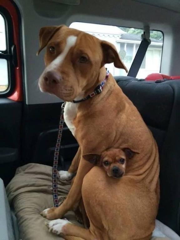 This Pit Bull Wouldn't Leave The Shelter Without The Chihuahua He Was Protecting, So The Owner Adopted Both!