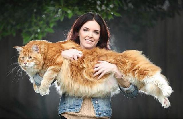 Gigantic Cat So Big He Weighs Over 30 Pounds Has Become An Internet Sensation