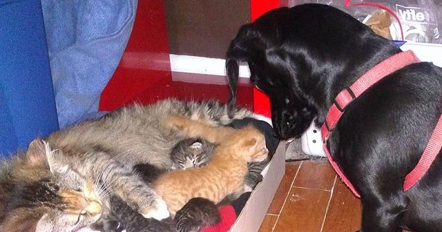 Dog Has The Most Incredible Response To The Family Cat's 7 Newborn Kittens