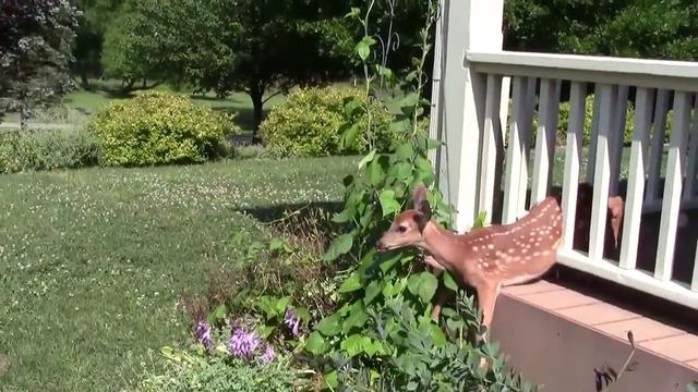 Mom Saves Fawn Stuck In Porch Railings – Then Escorts Him To Safety When He Can Barely Walk