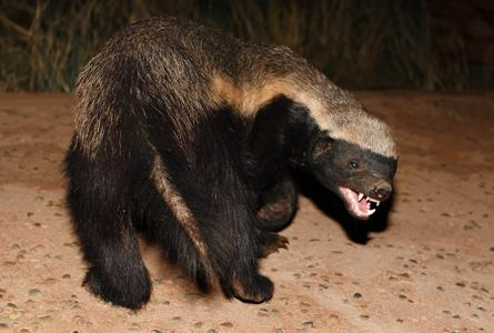 the meanest animal in the world the honey badger 国际 蛋蛋赞