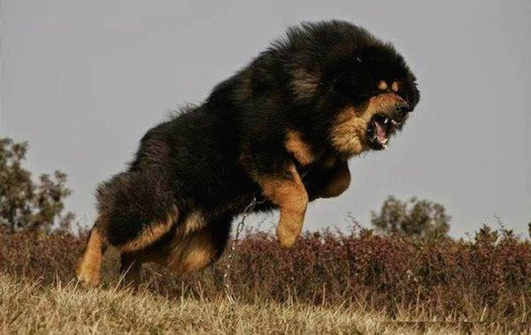 Top 10 Worlds Most Expensive Dog Breeds For 2018_国际_蛋蛋赞
