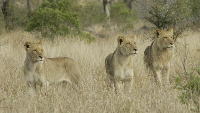 Poacher eaten by pride of lions he was trying to hunt in South Africa