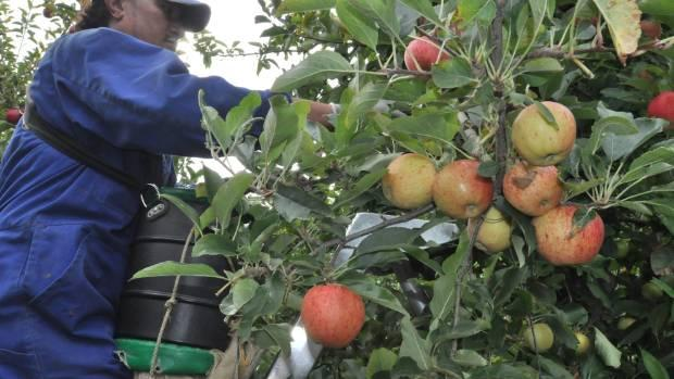 Urgent call for fruit-pickers in Hawke's Bay saw just 14 people express an interest