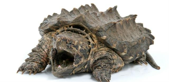 Idaho Teacher Reportedly Feeds Puppy To Snapping Turtle In Front Of