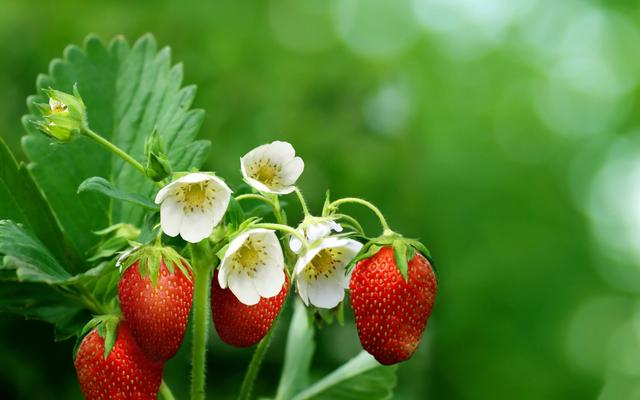 12 Things About Strawberries That You Did Not Know