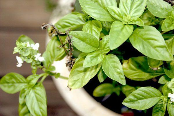 Stop Worrying About Mosquitoes. Plant One of These 6 Plants in the Yard, Say Bye to Them Forever