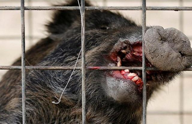 Japanese Wild Boars Are Affected by Nuclear Radiation, and