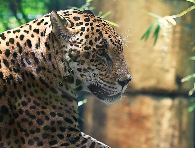 A Jaguar Escaped Inside A Zoo In New Orleans And Killed Six Animals