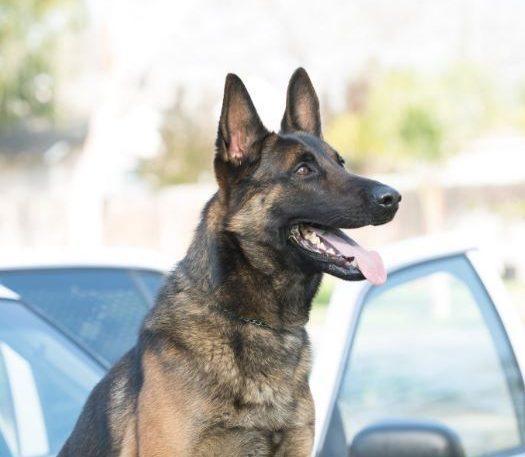 Long Beach Police K9 Found Dead In Patrol Car