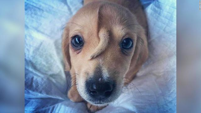 Meet Narwhal, the rescue puppy with a tail growing out of his forehead