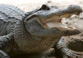 Alligator Hunting Allowed In North Carolina For First Time In 45 Years