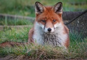 Woman 'suffers six puncture wounds as she is mauled by fox while sleeping in bed at her London