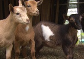 Baby Goat 'Intentionally Led Away Into The Woods' And Killed, Police Say