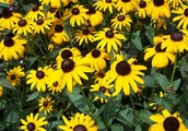 A Quick Guide to Growing Stunning Black-Eyed Susans and Coneflowers