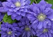How to Grow Clematis in Flower Garden?