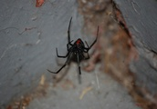 Black Widow spiders are spreading north to entirely new areas