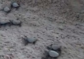 VIDEO: Rare Sight as Loggerhead Sea Turtles Hatch & Make Beeline for Ocean in Key West