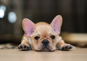 12 Signs You're a Total French Bulldog Mom