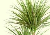 Madagascar Dragon Tree Plant Features