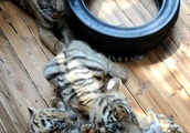 Three South China Tiger cubs play at breeding base