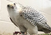 Prank gone wrong: US military academy embarrassed after cadets kidnap & injure rivals' mascot falcon