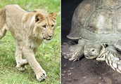 Hero in a half-shell: Lions can't crack crafty tortoise's defenses