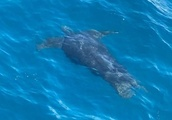 Sailors delighted by critically endangered leatherback turtle sighting in Tasman Bay