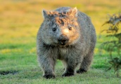 Stop taking selfies with wombats, tourists on remote Australian island told