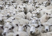 More than 50 neglected sheep euthanised in Canterbury