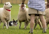 Shepherds and dogs gather for a battle of wits against woolly opponents