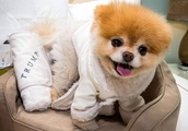 Boo the Pomeranian dead: Famous dog dies after 'his heart literally broke', age 12