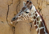 Necropsy To Be Conducted On Dallas Zoo Giraffe 'Witten' That Died Under Anesthesia During Physical