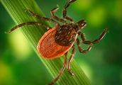 House of Representatives orders Pentagon to investigate whether ticks were once used as biological w