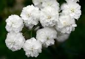 Gardening tips: Plant sneezewort for sprays of tiny white flowers all summer long