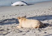 Blind dog tries to help beached dolphin on Rockaway Beach