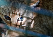Meet the 'cat-fox,' a mysterious mammal found in Corsica that could be a new species