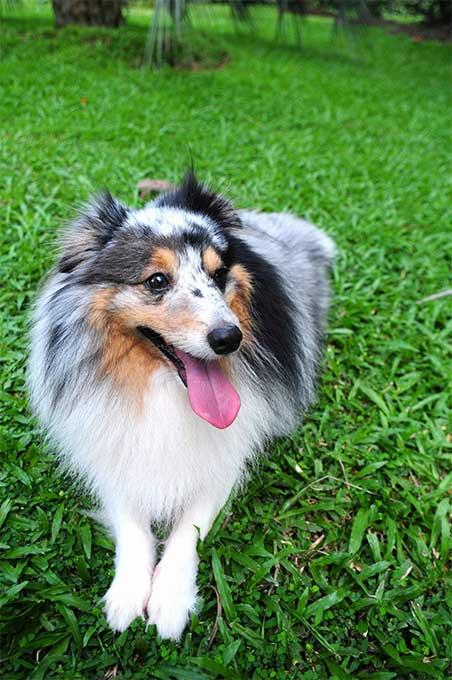 Malamute Dog For Sale Scotland