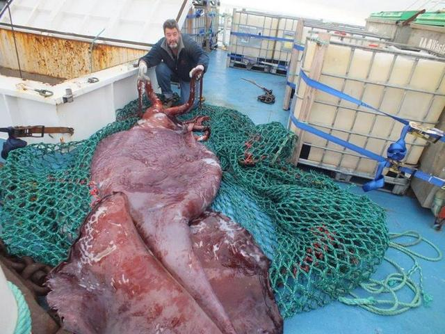 Giant squid are no longer a fish tale