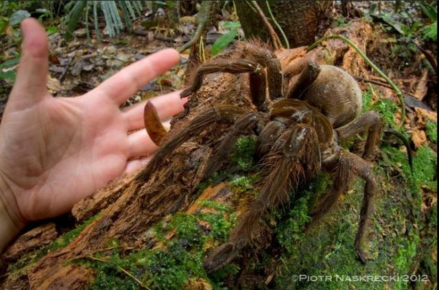 Top 10 Largest Spiders In The World Including The CAMEL SPIDER!!