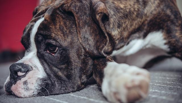 Sténose du pylore chez les chiens: symptômes, causes et traitements ...