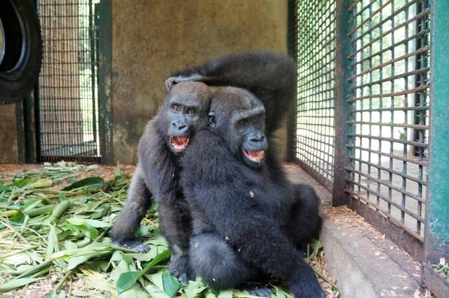 A Gorilla Who Spent 5 Years Alone Meets Another Gorilla For The First Time. His Reaction? PRICELESS.