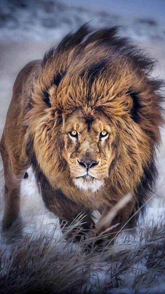 Por que Jesus é chamado Leão da tribo de Judá?