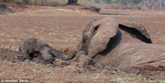 Mother Elephant And Her Calf Were Dying In The Mud, Then The Unexpected Occured
