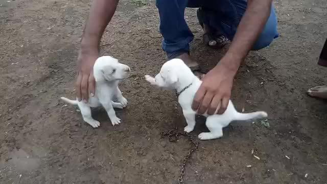 white little dog fight