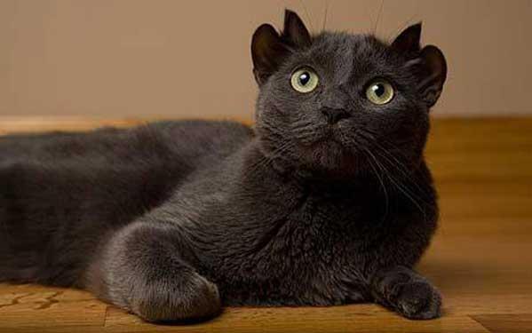 O gato de 4 orelhas